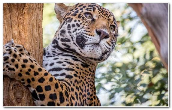 Image Leopard Moustache Ocelot Cheetah Big Cat