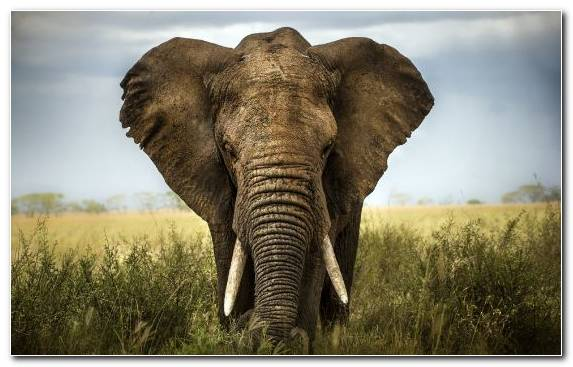 Image Leopard Safari Elephant Asian Elephant Savanna