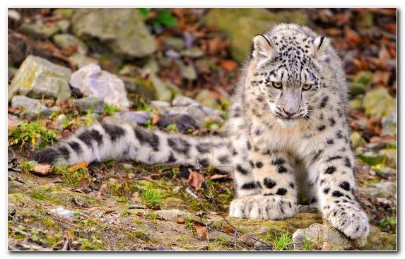 Image Leopard Snow Leopard Clouded Leopard Terrestrial Animal Big Cat