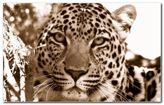 Image leopard tiger cheetah snout fauna