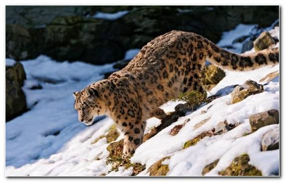 Image Leopard Wilderness Mammal Snow Leopard Wildlife