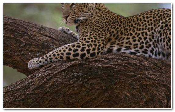 Image Leopard Wildlife Safari Terrestrial Animal Wilderness