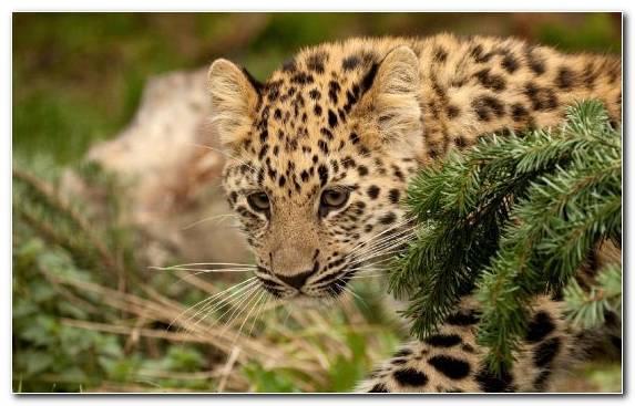 Image Leopard Wildlife Terrestrial Animal Animal Cheetah