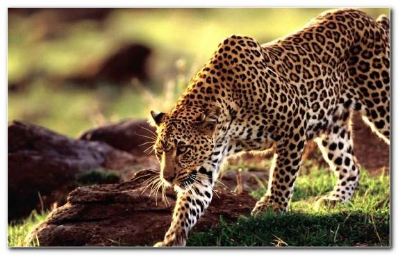 Image Leopard Wildlife Wilderness Big Cat Jaguar