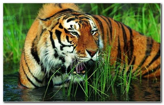 Image Lion Animal Wildlife Bengal Tiger Rare Species