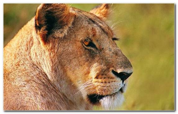 Image lion cat big cats animal whiskers