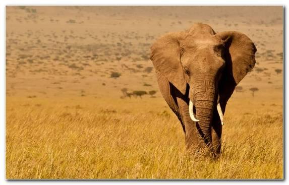 Image Lion Desert Maasai Mara Elephant Wilderness
