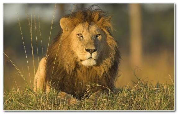 Image Lion Grassland Safari Mane Desert