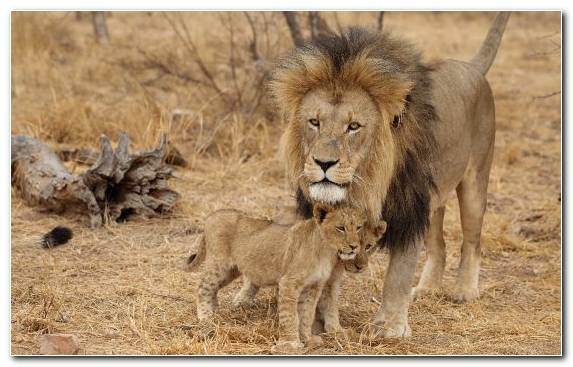 Image Lion Mane Masai Lion Terrestrial Animal Savanna