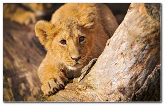 Image Lion Masai Lion Wildlife Terrestrial Animal