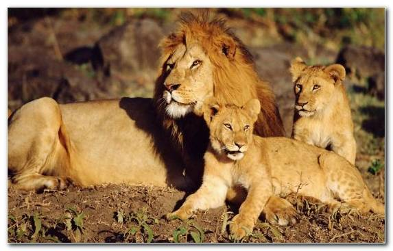 Image Lion Terrestrial Animal Big Cat Mammal Wildlife
