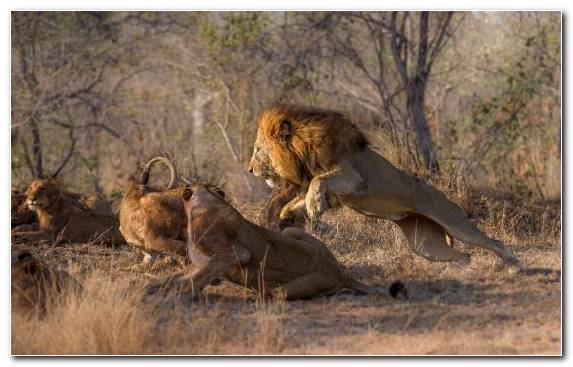 Image Lion Terrestrial Animal National Park Man Ecosystem