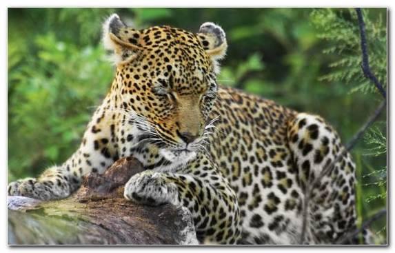 Image lion terrestrial animal snout kruger national park jaguar