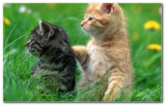 Image Lion Wildcat Whiskers Small To Medium Sized Cats Cat
