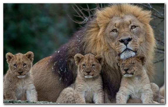 Image Lion Wildebeest Trophy Hunting Terrestrial Animal Mammal