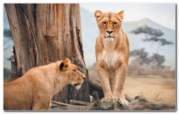 Image Lion Wildlife Terrestrial Animal Cat Big Cat