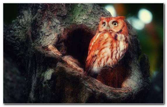Image Little Owl Beak Animal Wildlife Owl