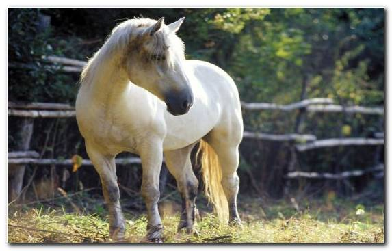Image Livestock Horse Show Stock Horse Animal Pasture