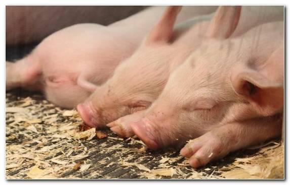 Image Livestock Snout Pig Animal
