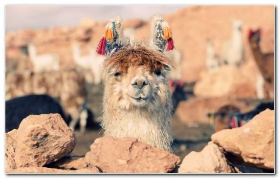 Image Llama Vicuna Livestock Alpaca Camel Like Mammal
