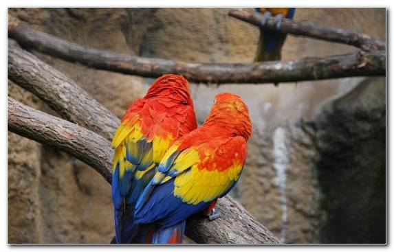 Image Lorikeet Beak Scarlet Macaw Tree Parrot
