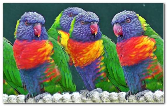 Image Lorikeet Exotic Pet Parrot Common Pet Parakeet Great Green Macaw
