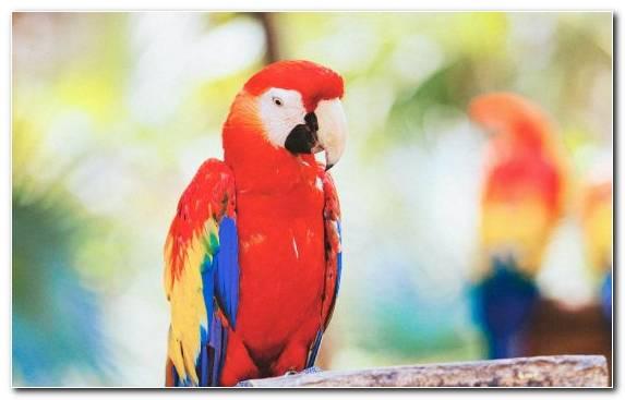Image Lorikeet Parakeet Lovebird Bird Macaw