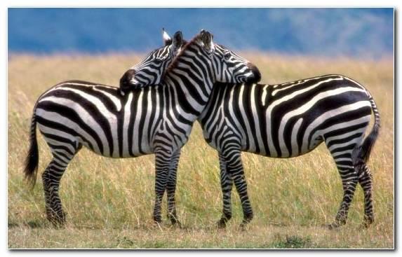 Image Love Animal Horses Savanna Terrestrial Animal