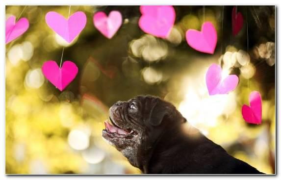 Image Love Pug Puppy Vertebrate Petal