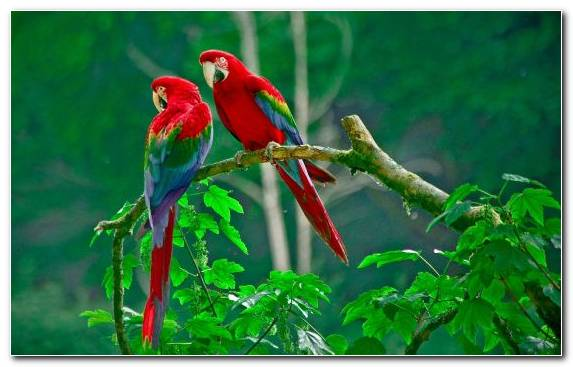 Image Lovebird Blue And Yellow Macaw Lorikeet Macaw Scarlet Macaw