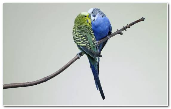 Image Lovebird Common Pet Parakeet Macaw Parakeet Pet
