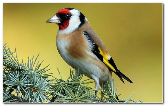 Image Lovebird Feather The Goldfinch Bird Tree