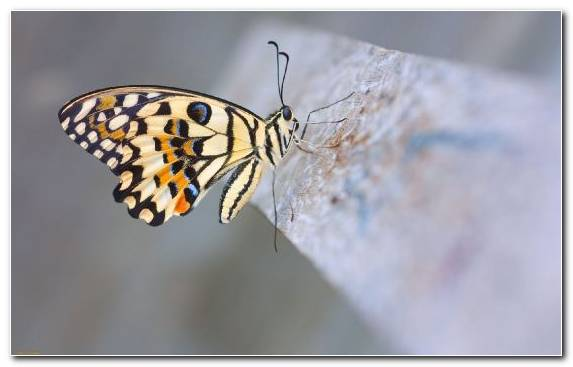Image Lycaenid Brush Footed Butterfly Insect Nanny Butterfly