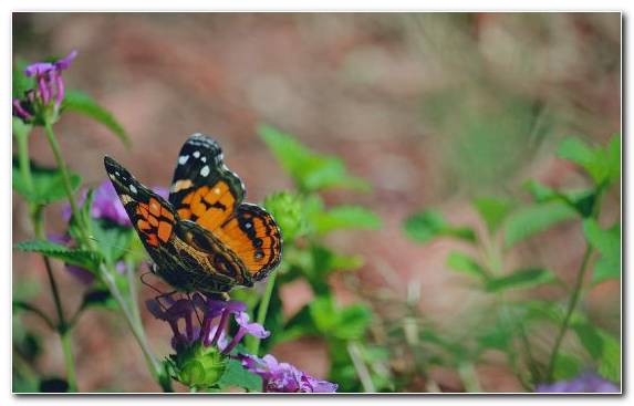 Image Lycaenid Brush Footed Butterfly Pollinator Insect Moths And Butterflies