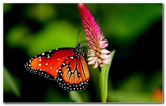 Image lycaenid butterfly insect lion brush footed butterfly