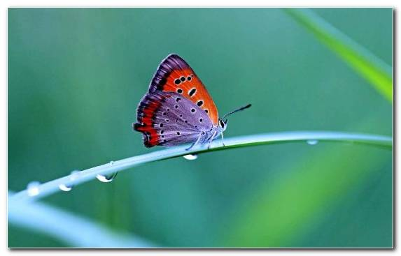 Image Lycaenid Butterfly Moths And Butterflies Pollinator Brush Footed Butterfly