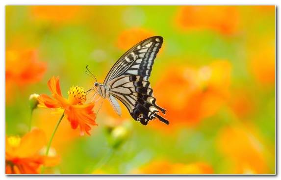 Image Lycaenid Monarch Butterfly Brush Footed Butterfly Nectar Invertebrate