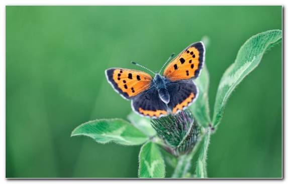 Image Lycaenid Moths And Butterflies Butterfly Invertebrate Insect