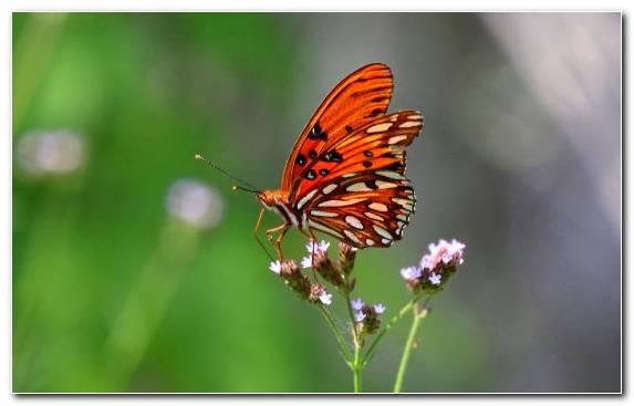 Image Lycaenid Pollinator Invertebrate Borboleta Nectar