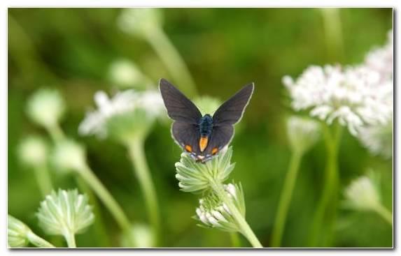 Image Lycaenid Summer Pollinator Nectar Nature