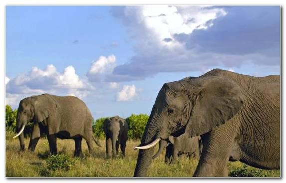 Image Maasai Mara Nature Reserve Wildlife African Elephant Grazing
