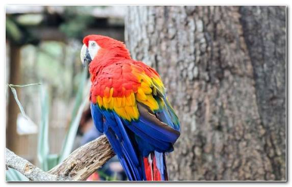 Image Macaw Lorikeet Common Pet Parakeet Blue And Yellow Macaw Parrot
