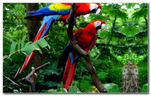 Image Macaw Scarlet Macaw Parrot Wildlife Red And Green Macaw
