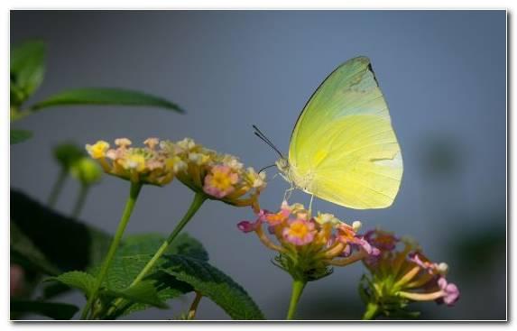 Image macro invertebrate butterfly pollinator pieridae