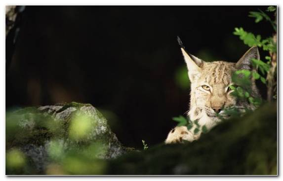 Image Macro Photography Desktop Metaphor Eurasian Lynx Tree Widescreen