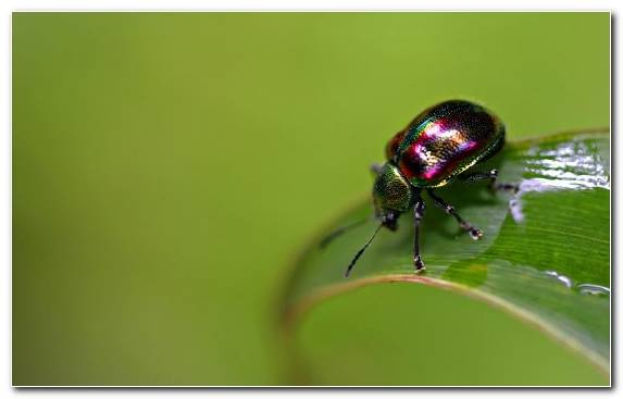 Image Macro Photography Invertebrates Arthropod Leaf Beetle Pest