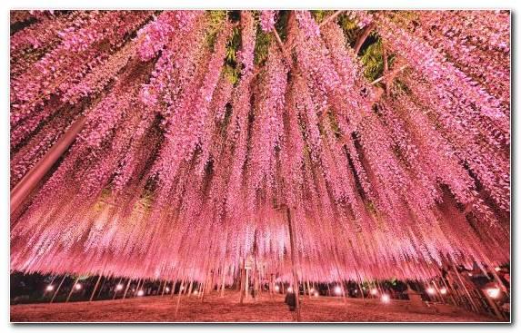 Image Magenta Wisteria Garden Plant Color