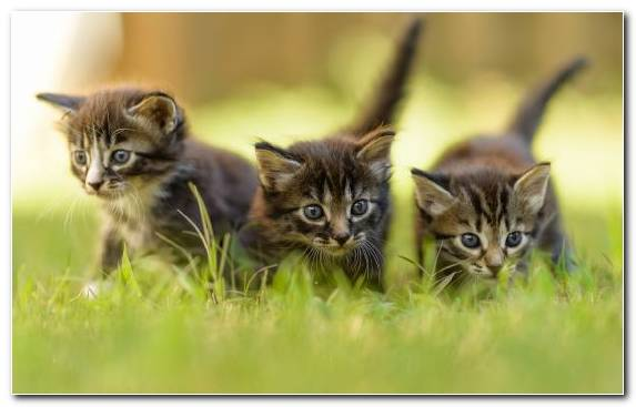 Image Maine Coon Cuteness Kitten Moustache Wildlife