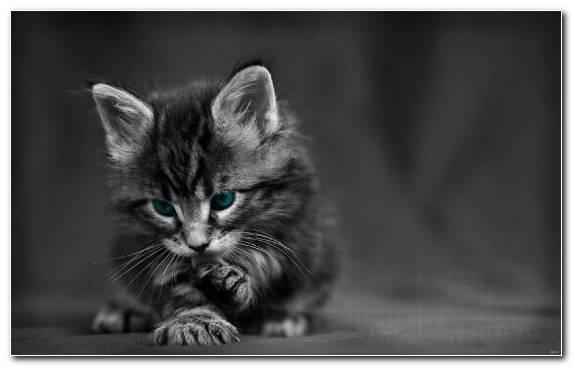 Image Maine Coon Kitten Monochrome Photography Munchkin Cat Cat
