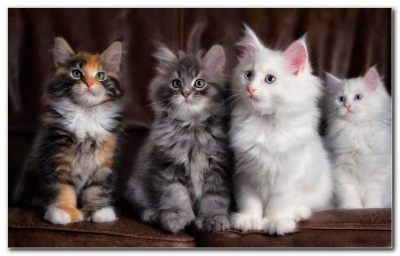 Image Maine Coon Vertebrate Raccoon Moustache Norwegian Forest Cat
